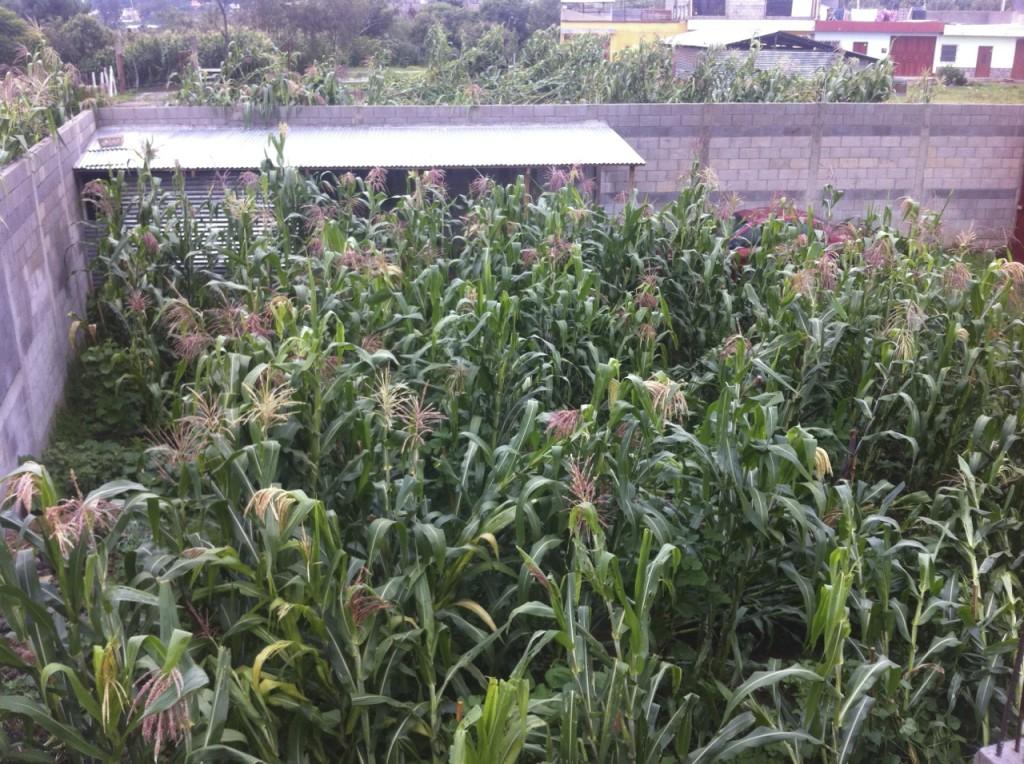 corn_2013_1